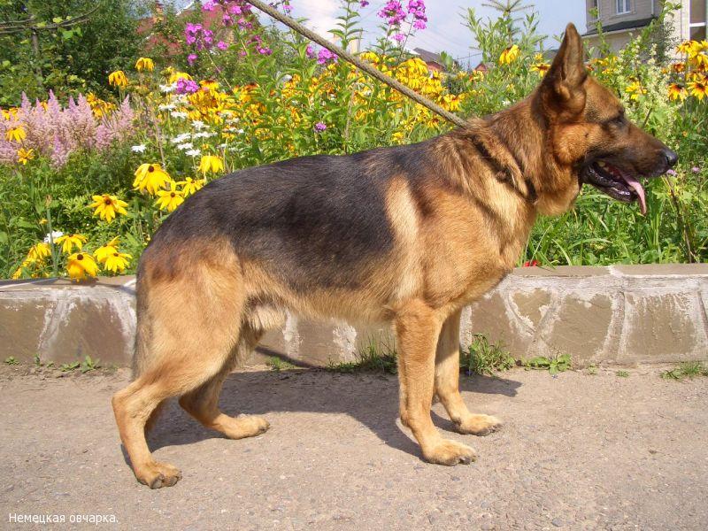 Срок беременности у немецкой овчарки собак